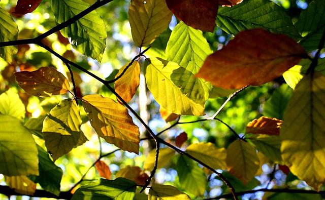 ハナの紅葉